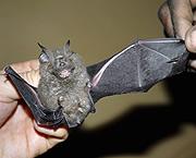 Un murciélago del género Rhinolophus descubierto en el Congo. (Foto: Andy Plumptre | WCS)