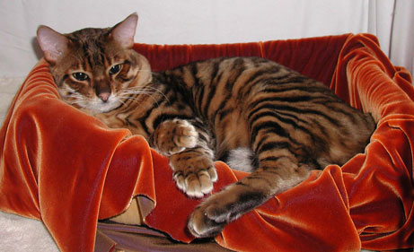 Toyger in cat bed photo
