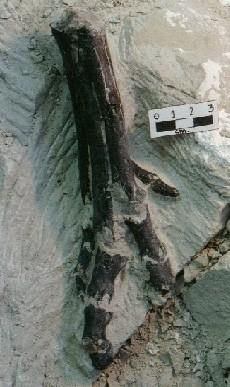 Aniksosaurus darwini, garra fosilizada