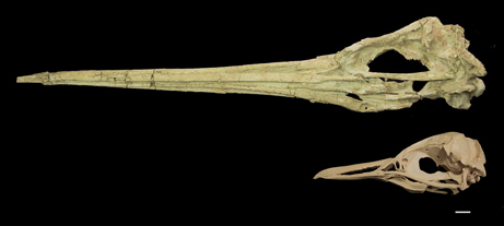 Photo Gallery: Giant Prehistoric Penguins Found