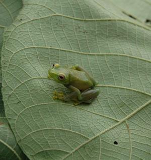 Nueva especie de rana perteneciente al género Hyperolius. (Foto: Andy Plumptre | Wildlife Conservation Society)